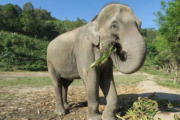 Dónde viven los elefantes y de qué se alimentan - Qué comen los elefantes