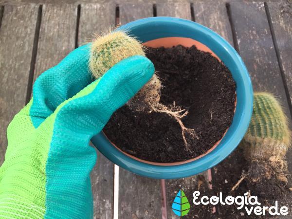 Trasplantar un cactus: cómo y cuándo hacerlo - Cómo trasplantar un cactus hijo paso a paso