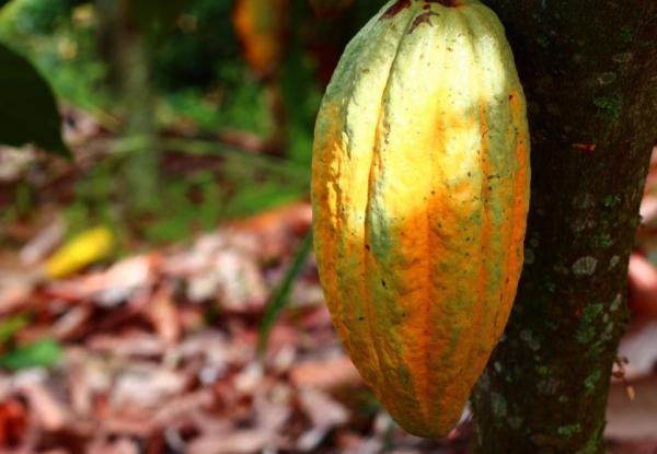 Recursos naturales de Colombia - Cacao