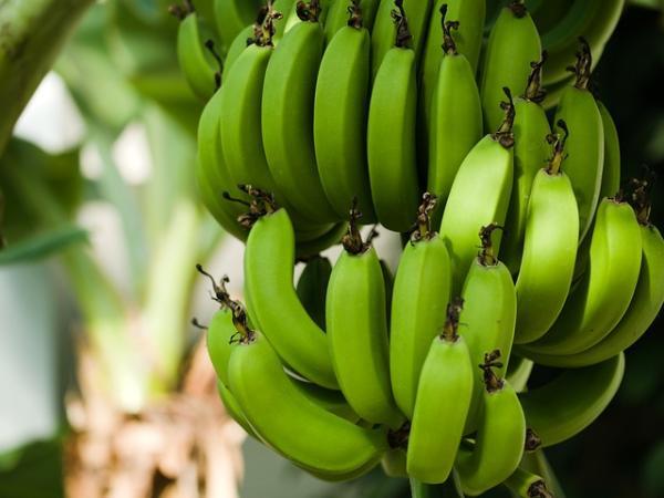 Recursos naturales de Colombia - Plátano