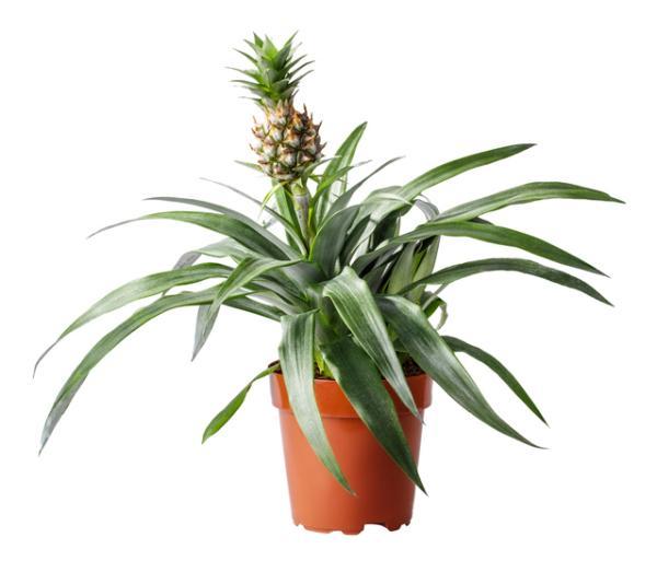 Cómo plantar una piña - Cómo plantar una piña en maceta - paso a paso
