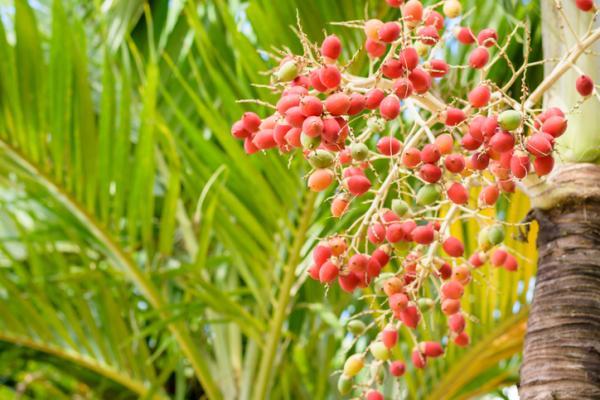 Palmeras de interior: nombres, características, cuidados y fotos - Adonidia merrillii o palmera de Navidad