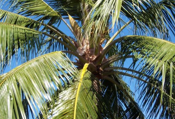 Palmeras de interior: nombres, características, cuidados y fotos - Cocos nucifera o cocotero