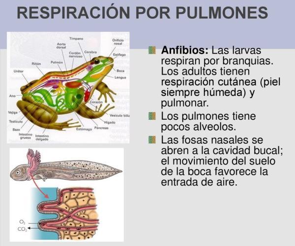 Cómo respiran los anfibios