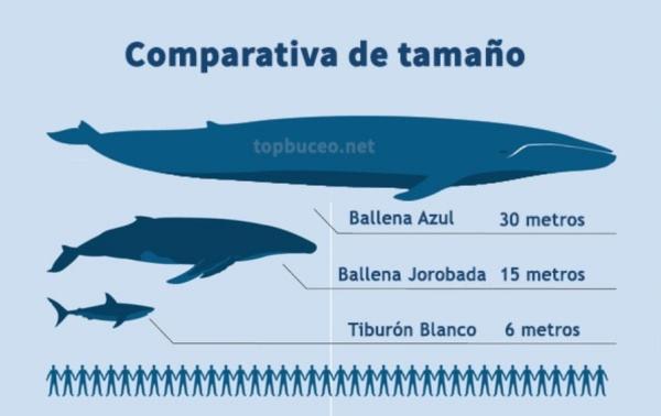 Animales más grandes del mundo - Ballena azul antártica