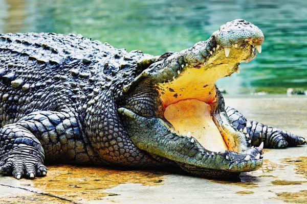 Animales más grandes del mundo - Cocodrilo del Nilo