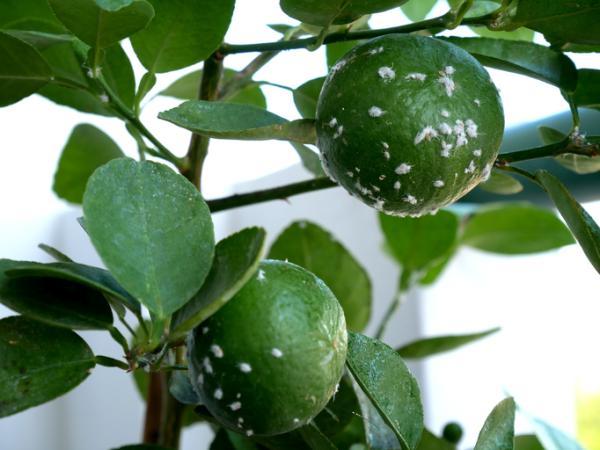 Cómo eliminar una plaga en un árbol de limón - Cómo combatir la mosca blanca en el limonero