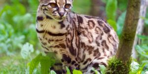 22 animales en peligro de extinción en Panamá