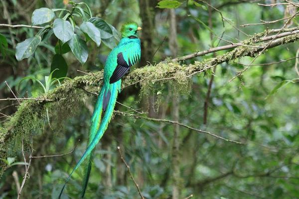 22 animales en peligro de extinción en Panamá - Quetzal (Pharomachrus mocinno)