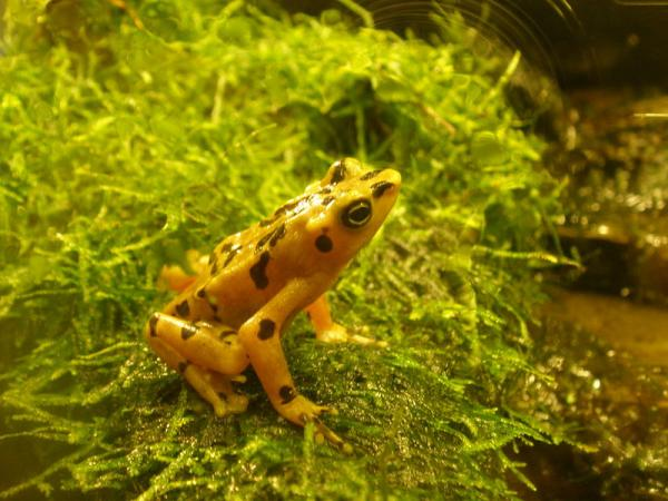 22 animales en peligro de extinción en Panamá - Rana dorada de Panamá (Atelopus zeteki)