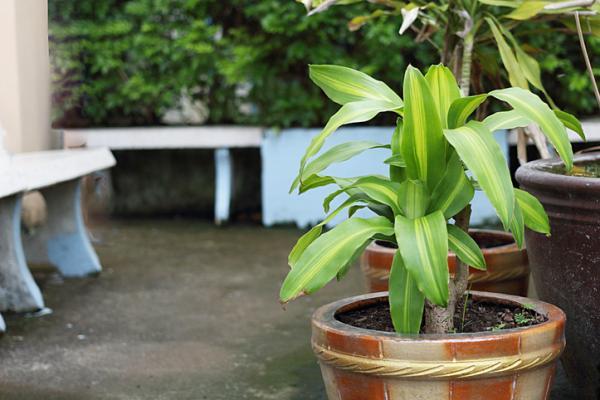 Tronco de Brasil: cuidados y reproducción - Mi planta tronco de Brasil con las hojas amarillas, ¿qué hago?