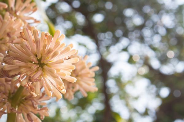 Tronco de Brasil: cuidados y reproducción - Planta tronco de Brasil, palo de agua o Dracaena fragrans: características