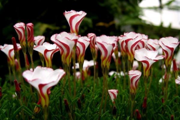 Nombres de las flores más exóticas del mundo - Candy Cane