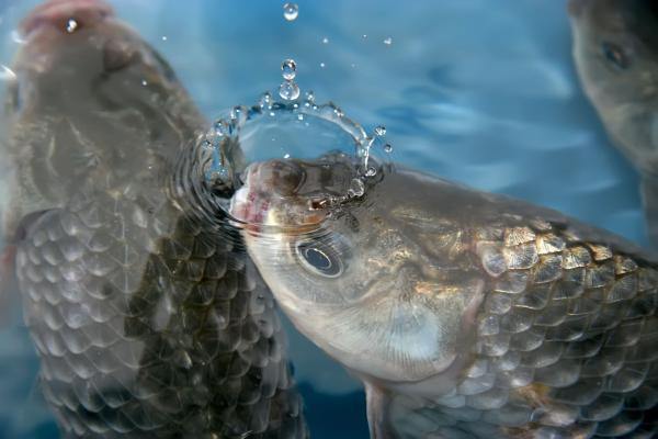 Cómo respiran los peces - Cómo respiran los peces - el sistema respiratorio