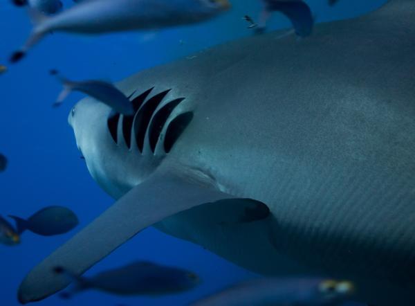 Cómo respiran los peces - Cómo son las branquias de los peces