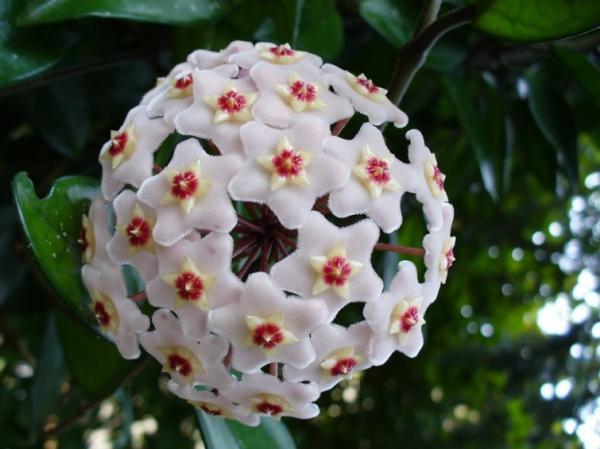 Nombres de las flores más exóticas del mundo - Flor de porcelana