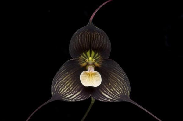 Nombres de las flores más exóticas del mundo - Orquídea drácula