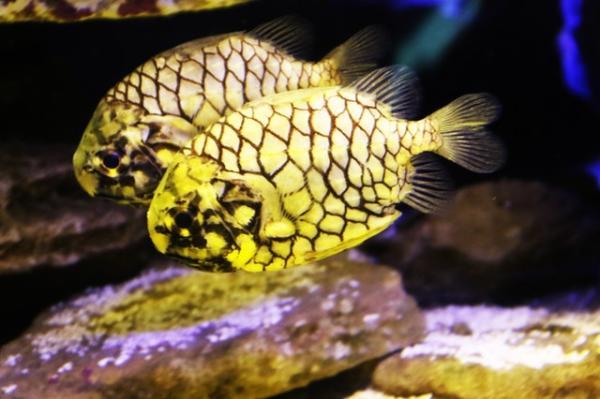 Animales con escamas: ejemplos con nombres e imágenes - El pez piña y sus características escamas