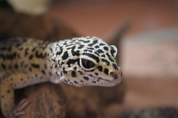 Animales con escamas: ejemplos con nombres e imágenes - Geckos, saurópsidos escamosos