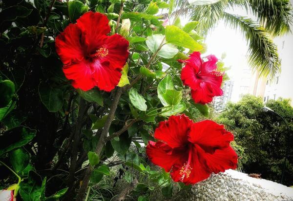 Tipos de flor de Jamaica