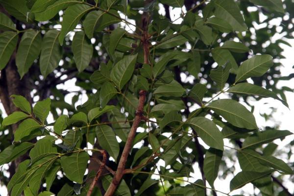 Plantas en peligro de extinción en Guatemala - Caoba