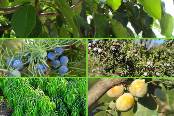 Plantas en peligro de extinción en Guatemala - Otras plantas en peligro de extinción en Guatemala