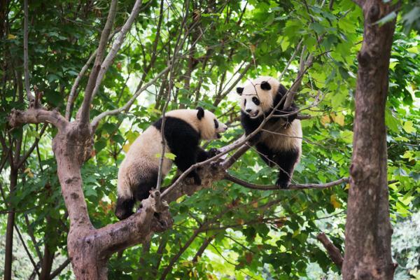 Animales en mayor peligro de extinción en Asia - ¿El oso panda está en peligro de extinción?