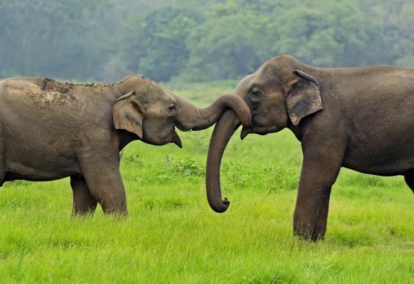 Animales en mayor peligro de extinción en Asia - Elefante asiático