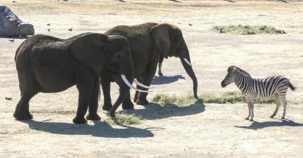 Cuáles son las diferencias entre elefantes africanos y asiáticos - Diferencias entre elefantes africanos y asiáticos: el tamaño