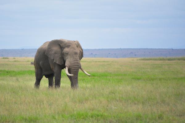 Cuáles son las diferencias entre elefantes africanos y asiáticos - Hábitat del elefante africano y del asiático