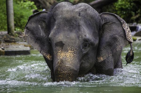 Cuáles son las diferencias entre elefantes africanos y asiáticos - Las orejas de los elefantes africanos y asiáticos son distintas