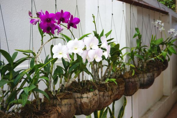 29 plantas colgantes de interior - Orquídeas colgantes