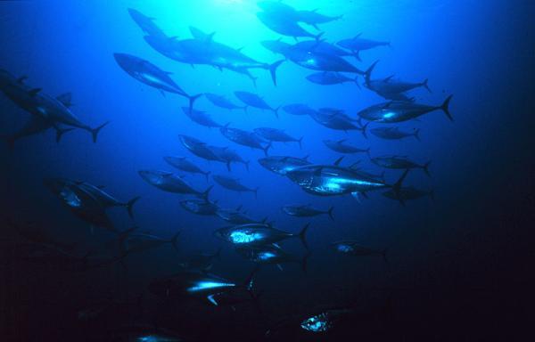 Animales en peligro de extinción - El atún rojo