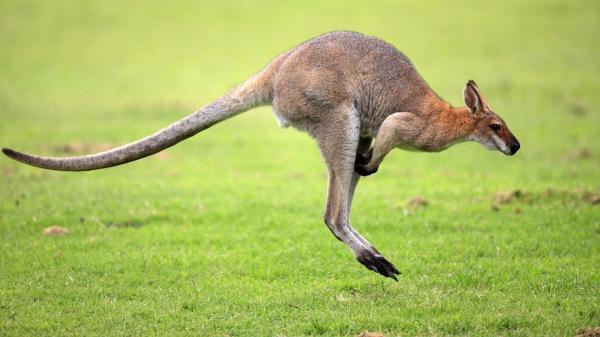 Animales en peligro de extinción - El canguro en peligro de extinción
