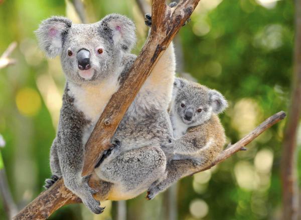 Animales en peligro de extinción - ¿El koala está en peligro de extinción?