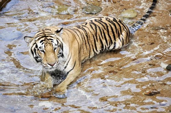Animales en peligro de extinción - Los tigres, especie en gran peligro de extinción