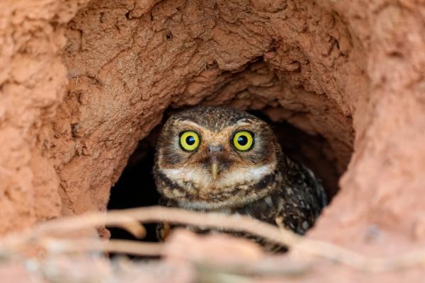 Animales que viven en madrigueras - Lechuza vizcachera