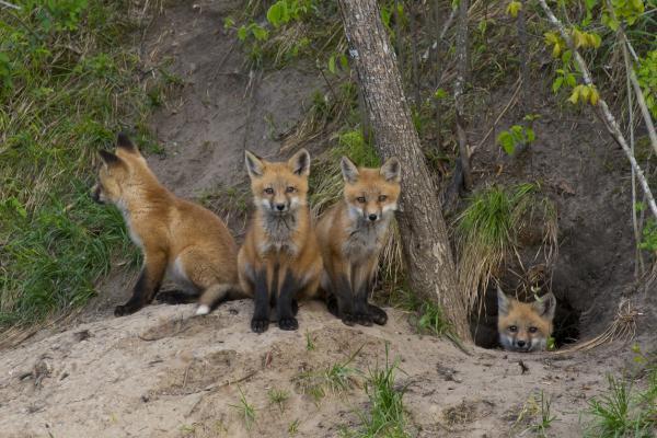 Animales que viven en madrigueras - Zorro común