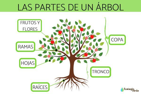 Partes de un árbol y sus funciones