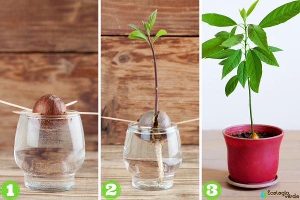 Cómo plantar un aguacate - Cómo plantar un aguacate desde el hueso
