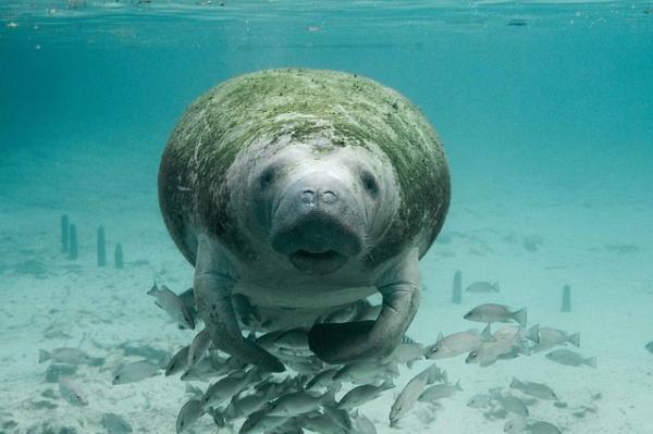 El manatí en peligro de extinción
