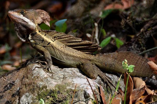 +30 animales del Amazonas - Basilisco marrón (Basiliscus vittatus)