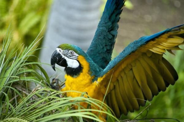 +30 animales del Amazonas - Guacamayo azulamarillo (Ara ararauna)