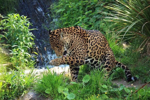 +30 animales del Amazonas - Jaguar (Phantera onca), uno de los animales del Amazonas en peligro