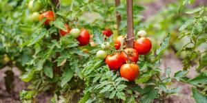Fungicidas caseros para tomates