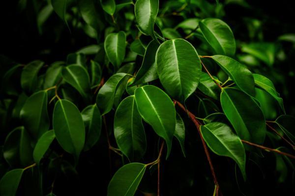 +25 plantas de interior que necesitan poca luz - Ficus benjamina