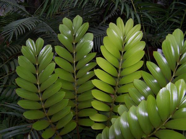 +25 plantas de interior que necesitan poca luz - La planta zamioculca para interiores con poca luz