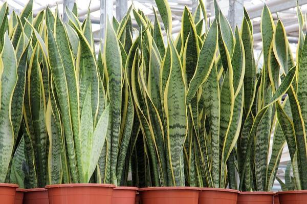 +25 plantas de interior que necesitan poca luz - Lengua de tigre o lengua de suegra