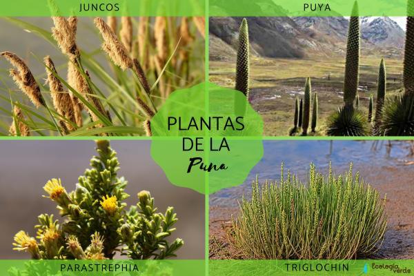 Puna: qué es, características, flora y fauna - Flora de la Puna