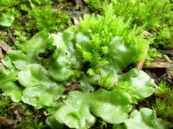 Plantas sin flores - Las hepáticas, otro tipo de plantas sin flores
